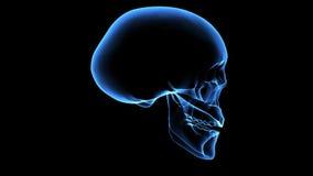 Human skull. X-ray scan. Royalty Free Stock Photos