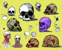Human skulls. Set of Human skulls isolated on light background Royalty Free Stock Images