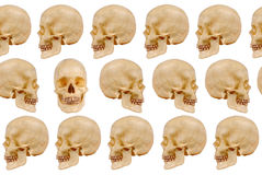Human skulls. Human skull models facing left and right with one skull facing forward isolated over white Royalty Free Stock Photography