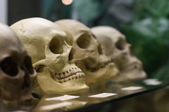 Human skulls. Standing on the glass shelf at the State Darwin museum in Moscow, Russia Stock Image