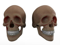 Human skulls. 3D render illustration of two human skulls. The composition is  on a white background with no shadows Royalty Free Stock Photo