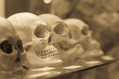 Human skulls standing on the glass shelf. Black and white processed photo Royalty Free Stock Photo