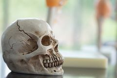 Human skulls for use in education royalty free stock photography