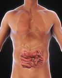 Human Small Intestine Anatomy. Illustration. 3D render Royalty Free Stock Image
