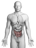 Human small intestine Stock Image