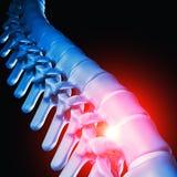 Human spinal bone 3d Stock Image