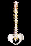 Human Spine. Chiropractic spine (plastic Stock Images