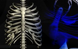 Human spine. Digital illustration of  a human spine Royalty Free Stock Image