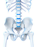 Human Spine Anatomy Stock Photography