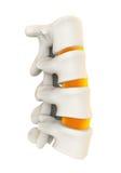 Human Spine Anatomy Stock Image