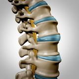 Human Spine Anatomy Section stock illustration