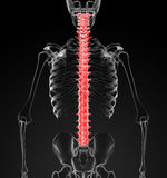 Human spine Royalty Free Stock Photos