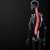 Human spine Royalty Free Stock Image