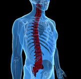 Human spine. 3d rendering of Spine, Vertebrae - Anatomy Bones with x-ray effect Royalty Free Stock Photo