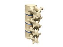 Human spine Royalty Free Stock Photo