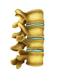 Human spine. Illustration  part of a human spine Stock Photography