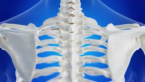 The human spine