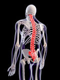 The human spine Stock Photography
