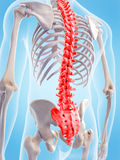 The human spine Stock Photos