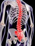 The human spine Stock Photo