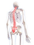 The human spine Royalty Free Stock Photography