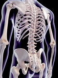 The human spine Royalty Free Stock Photos