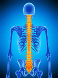 The human spine Stock Image