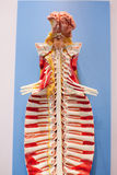 The human spine model,.  royalty free stock image