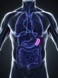 Human Spleen Anatomy Royalty Free Stock Image