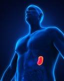 Human Spleen Anatomy Stock Photos