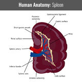 Human Spleen detailed anatomy. Vector Medical. Illustration Stock Photos