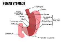 Human stomach. Anatomy of human stomach, illustration (for basic medical education, for clinics & Schools vector illustration