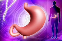 Human stomach Royalty Free Stock Images