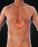 Human Stomach Anatomy. Illustration. 3D render Royalty Free Stock Images