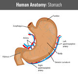 Human Stomach detailed anatomy. Vector Medical. Illustration Stock Photography