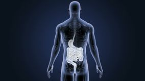 Human Stomach and Intestine with Skeleton Body stock video