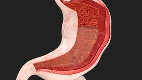 Human Stomach Movements During Digestion