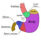 Human stomach. Vector illustration 1 Stock Image