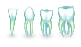 The human teeth. incisor, canine and molarsB. Vector illustration of human teeth. incisor, canine and molars vector illustration