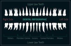 Human teeth infographic. Teeth infographic Stock Photography