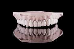 Human teeth, model, with reflection Royalty Free Stock Photos