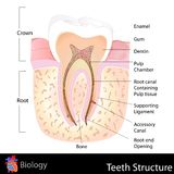 Human Teeth Structure. Easy to edit vector illustration of human teeth structure Royalty Free Stock Images