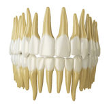 Human teeth   on white. Royalty Free Stock Photo