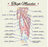 Human thigh muscles Stock Photos