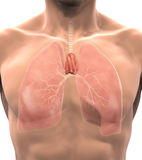 Human Thymus Anatomy Royalty Free Stock Photo