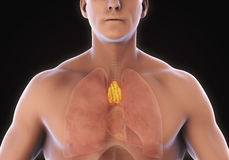 Human Thymus Anatomy. Illustration. 3D render Stock Photo