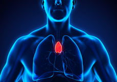 Human Thymus Anatomy. Illustration. 3D render Stock Photography