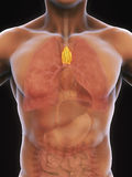 Human Thymus Anatomy. Illustration. 3D render Royalty Free Stock Images