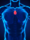 Human Thymus Anatomy. Illustration. 3D render vector illustration