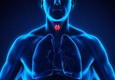 Human Thyroid Gland Anatomy Stock Photo